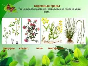 Кормовые травы Так называются растения, разводимые на полях на корм скоту. л