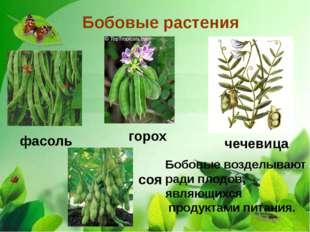 Бобовые растения фасоль чечевица горох соя Бобовые возделывают ради плодов,