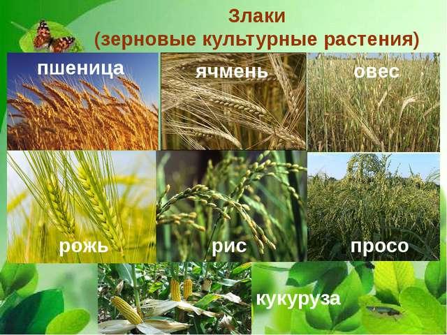 Злаки (зерновые культурные растения) пшеница рожь ячмень рис кукуруза овес п...