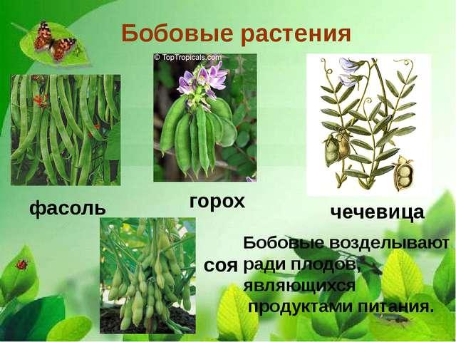 Бобовые растения фасоль чечевица горох соя Бобовые возделывают ради плодов,...