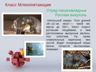 Класс Млекопитающие Небольшой зверек. Тело длиной 18—22см, хвост— такой же