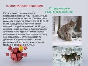 Класс Млекопитающие Отряд Хищные Рысь Обыкновенная Русское слово рысь восходи