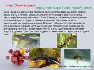 Класс Земноводные Отряд Хвостатые Гребенчатый тритоН Своё название данный вид