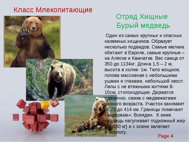 Класс Млекопитающие Отряд Хищные Бурый медведь Один из самых крупных и опасны...