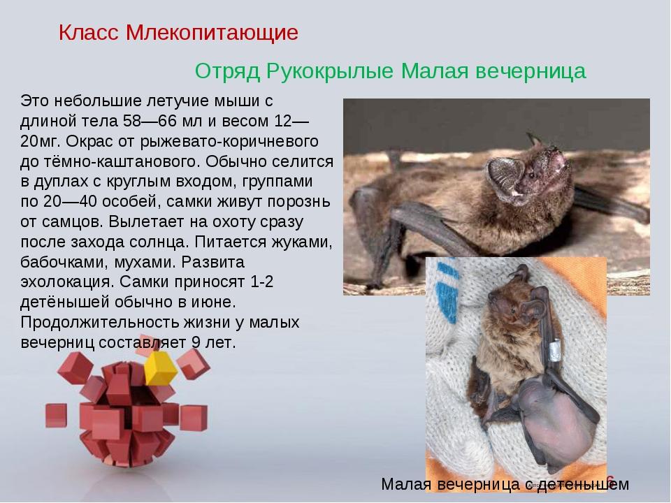 Класс Млекопитающие Отряд Рукокрылые Малая вечерница Это небольшие летучие мы...