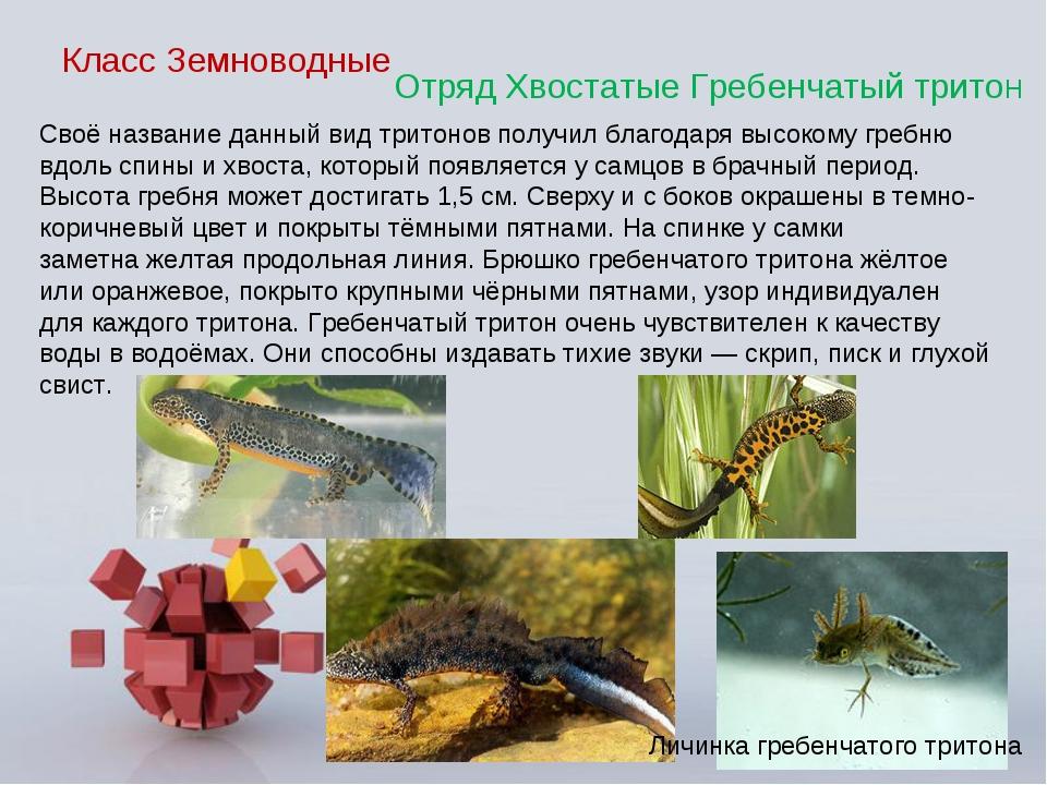 Класс Земноводные Отряд Хвостатые Гребенчатый тритоН Своё название данный вид...