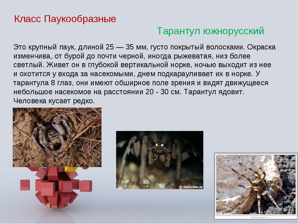 Класс Паукообразные Тарантул южнорусский Это крупный паук, длиной 25 — 35 мм,...