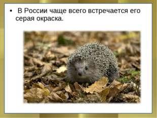В России чаще всего встречается его серая окраска.