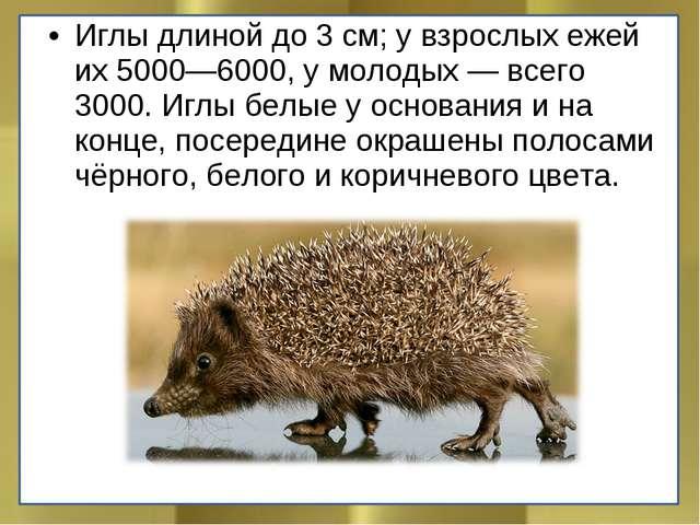 Иглы длиной до 3 см; у взрослых ежей их 5000—6000, у молодых — всего 3000. Иг...