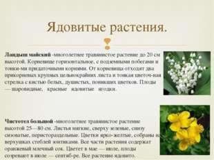 Ландыш майский -многолетнее травянистое растение до 20 см высотой. Корневище