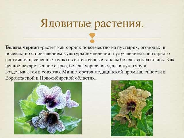 Белена черная -растет как сорняк повсеместно на пустырях, огородах, в посевах...