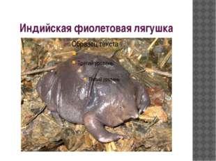 Индийская фиолетовая лягушка