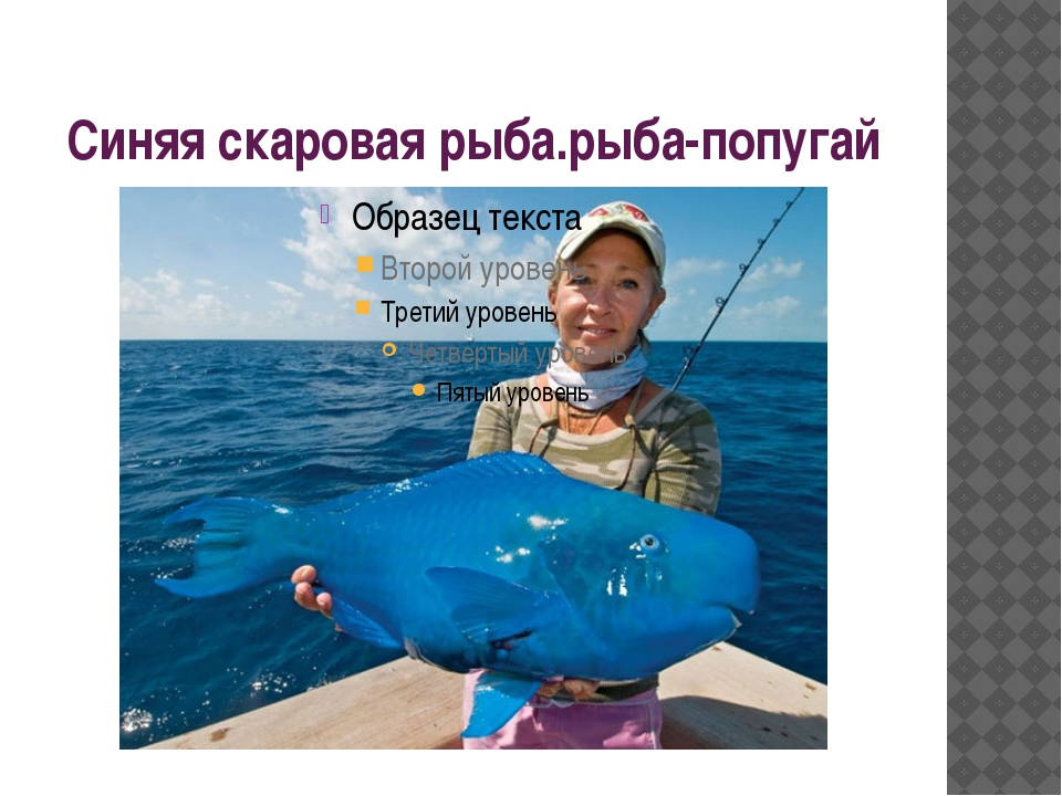 Синяя скаровая рыба.рыба-попугай