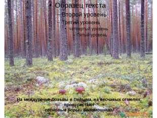 На междуречье Лозьвы и Пелыма, на песчаных отмелях, произрастают сосновые бор