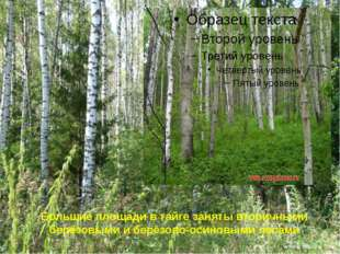 Большие площади в тайге заняты вторичными берёзовыми и берёзово-осиновыми лес