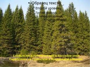 Еловые леса произрастают в бассейне реки Серебрянка на Туринской и Кондинской