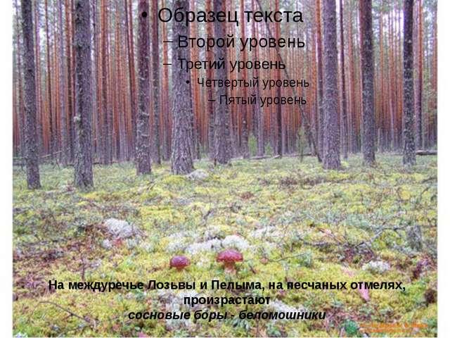 На междуречье Лозьвы и Пелыма, на песчаных отмелях, произрастают сосновые бор...