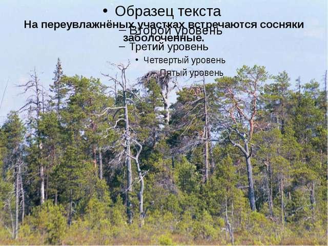 На переувлажнёных участках встречаются сосняки заболоченные.