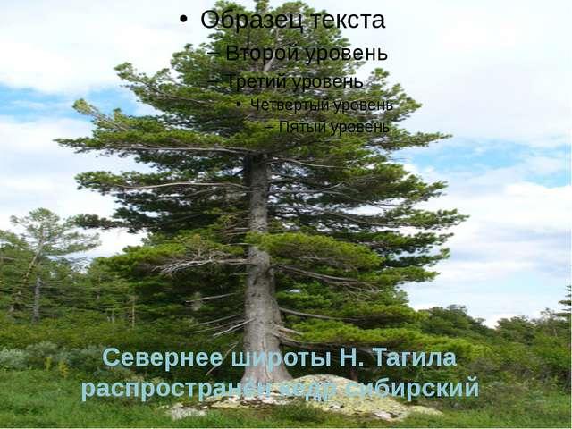 Севернее широты Н. Тагила распространён кедр сибирский