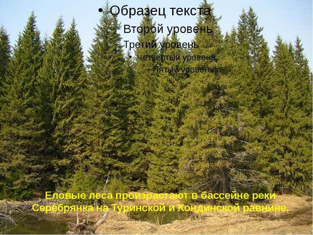 Еловые леса произрастают в бассейне реки Серебрянка на Туринской и Кондинской...