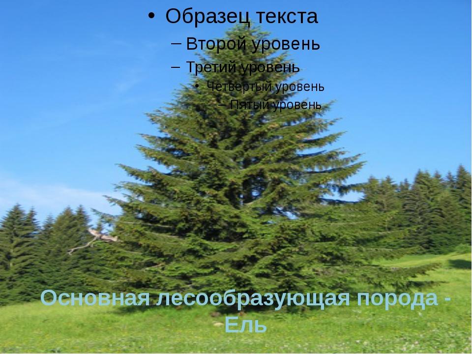 Основная лесообразующая порода - Ель