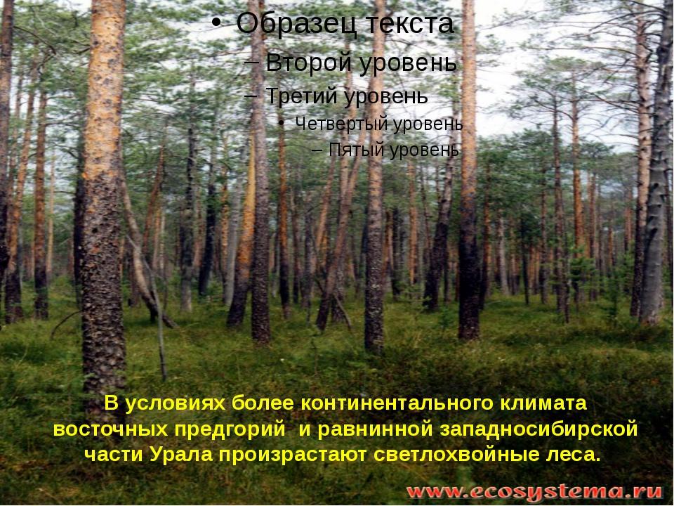 В условиях более континентального климата восточных предгорий и равнинной зап...