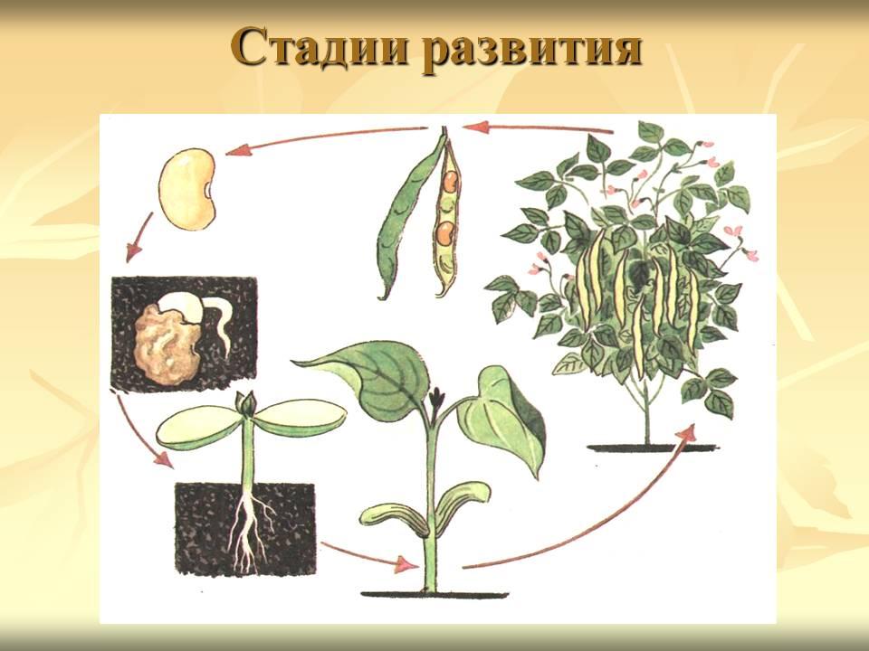 Развитие растений этапы развития в картинках