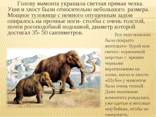 Голову мамонта украшала светлая прямая челка. Уши и хвост были относительно...