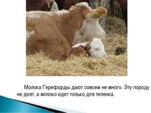 Молока Герефорды дают совсем не много. Эту породу не доят, а молоко идет толь
