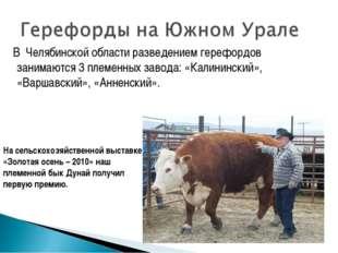 В Челябинской области разведением герефордов занимаются 3 племенных завода: