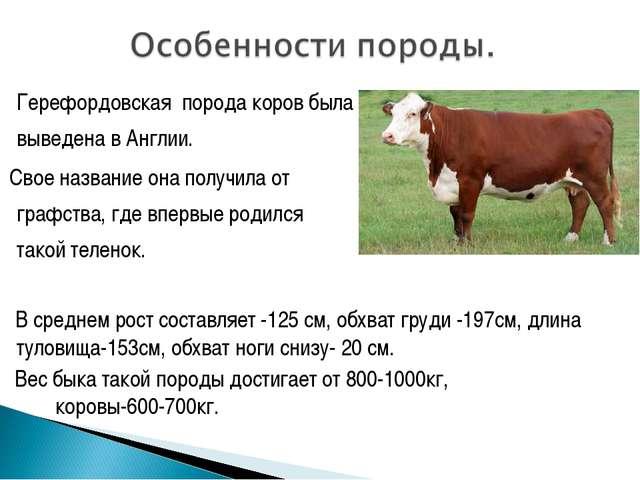 Герефордовская порода коров была выведена в Англии. Свое название она получ...