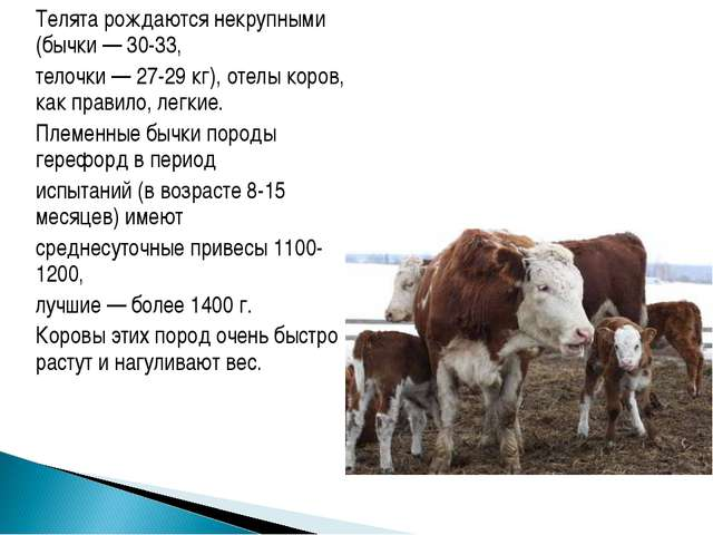 Телята рождаются некрупными (бычки — 30-33, телочки — 27-29 кг), отелы коро...