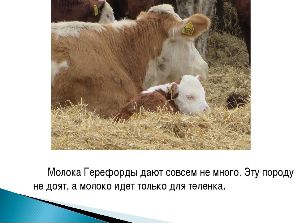 Молока Герефорды дают совсем не много. Эту породу не доят, а молоко идет толь...