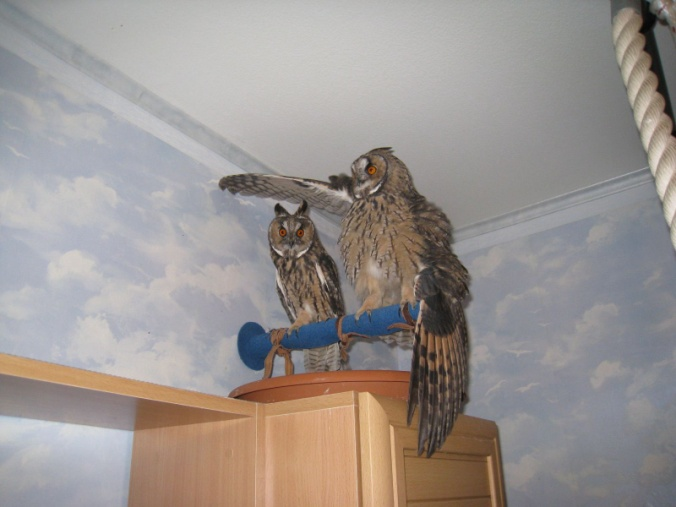 Совы в квартире