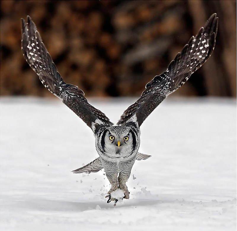 Взлетающая сова