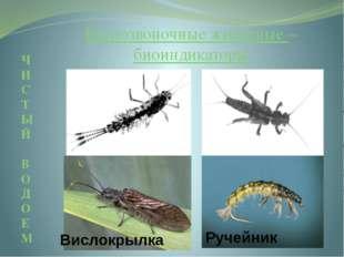 Поденка Веснянка Вислокрылка Ручейник Беспозвоночные животные – биоиндикатор