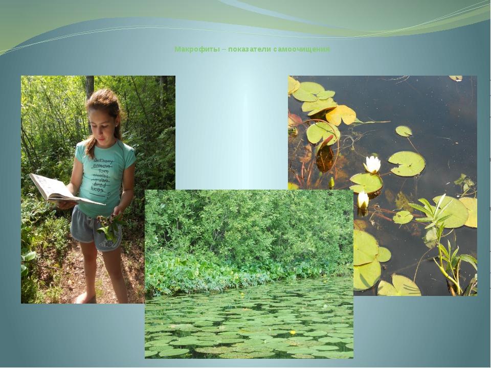 Макрофиты – показатели самоочищения В озере Белое нами обнаружено 12 видов п...