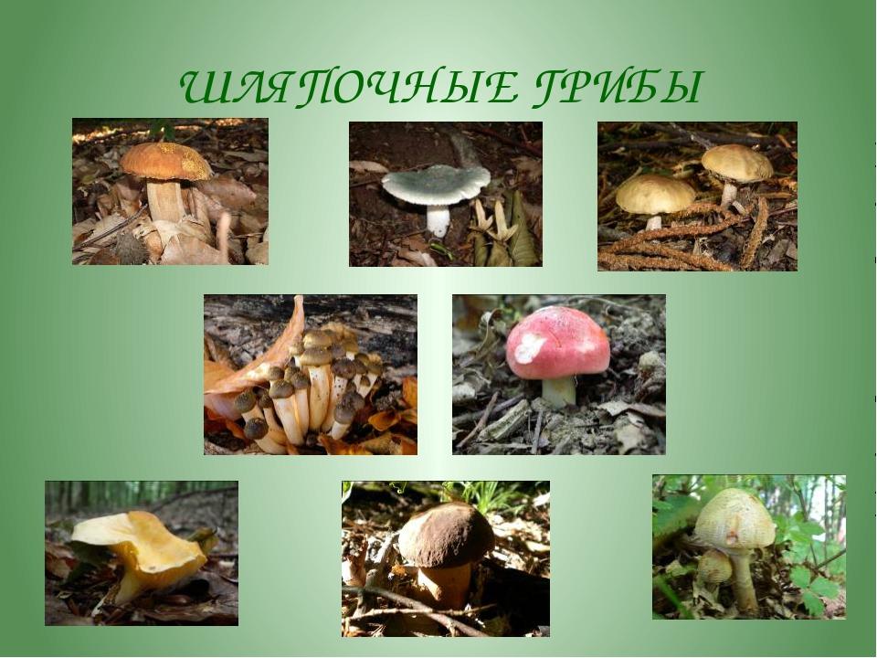 И это тоже грибы! Дождевик
