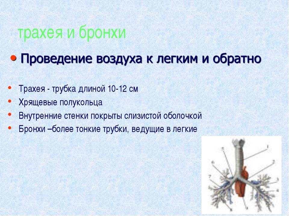 трахея и бронхи Трахея - трубка длиной 10-12 см Хрящевые полукольца Внутренни...