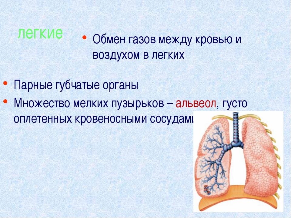 легкие Парные губчатые органы Множество мелких пузырьков – альвеол, густо опл...