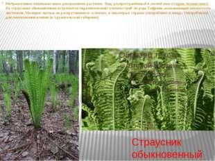 Страусник обыкновенный Неприхотливое теневыносливое декоративное растение. В