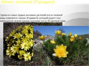 Адонис весенний (Горицвет) Одним из самых первых весенних растений после снеж