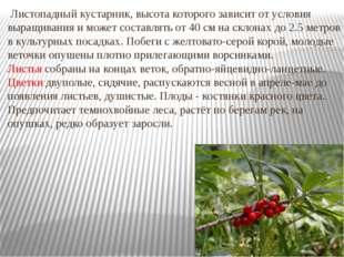 Листопадный кустарник, высота которого зависит от условия выращивания и може