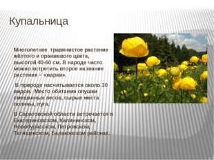 Купальница Многолетнее травянистое растение жёлтого и оранжевого цвета, высо