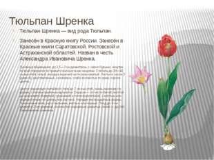Тюльпан Шренка Тюльпан Шренка — вид рода Тюльпан. Занесён в Красную книгу Рос