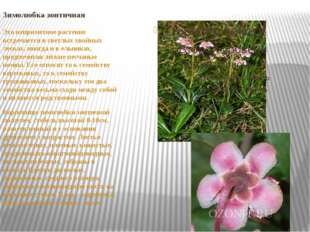 Зимолюбка зонтичная Это неприметное растение встречается в светлых хвойных ле