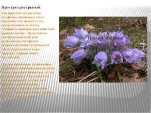 Прострел раскрытый Это многолетнее растение семейства лютиковых часто называю
