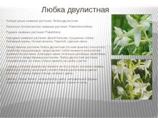 Любка двулистная Литературные названия растения: Любка двулистная; Латинское