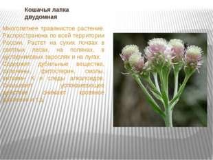Кошачья лапка двудомная Многолетнее травянистое растение. Распространена по в