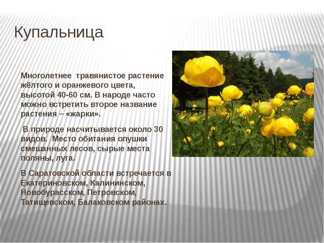 Купальница Многолетнее травянистое растение жёлтого и оранжевого цвета, высо...